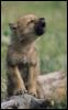 wolfchild11 userpic