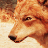 wolf phase Jacob