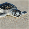 animals: baby sea turtle