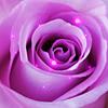 vicki_rae: ZZZ - Glowing Pink/Lavender Rose