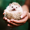 animals: hedgehog in a ball